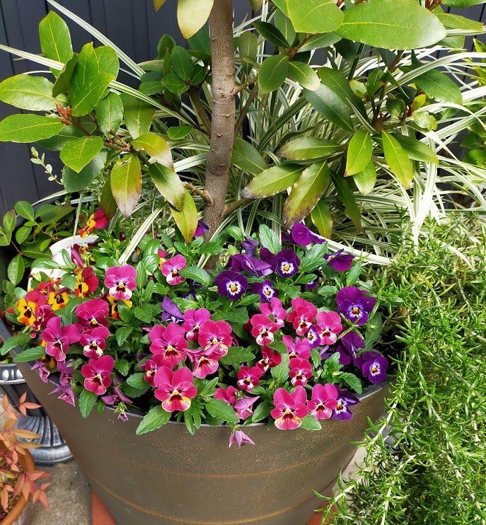事務所前の寄せ植え。2月に植えたビオラが元気になりました。